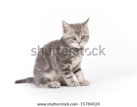 Gray marmoreal scottish breed kitten on white ground sitting