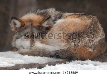 Gray Mexican Wolf (Canis lupus baileyi) curled up on snow covered rock - captive animal - focus on eyes