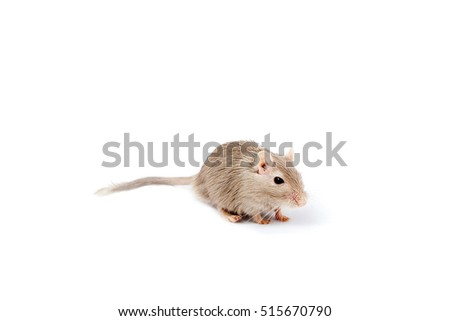 gray mouse gerbil on a white background