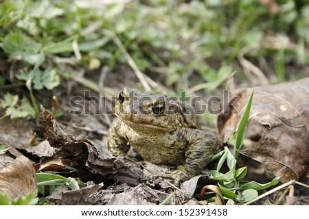 Gray or ordinary toad (Bufo bufo) - stock photo