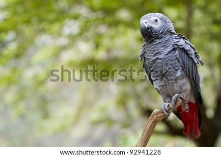 gray parrot, gray parrot with red tail catching on tree branch in wood. - stock photo