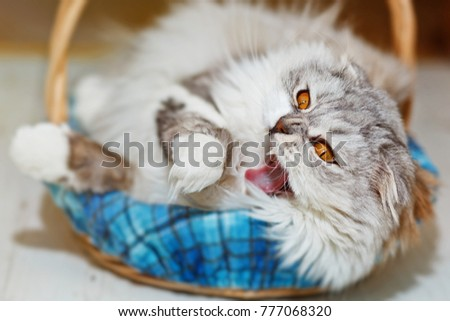 Gray pedigreed home, very woolly, cat with amber eyes, highland scottish fold breed, yawns in his sleeping basket while having a nap after meal. Close-up capture, selective focus.