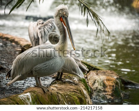 Gray pelican on a rock near the water, wildlife