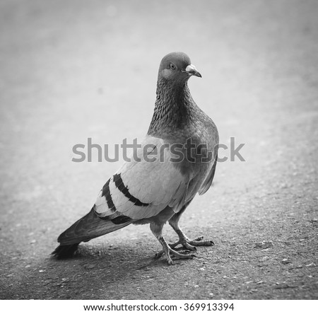 Gray pigeon on the pavement, black-white - stock photo