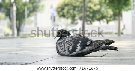 Gray pigeon sitting in the park - stock photo