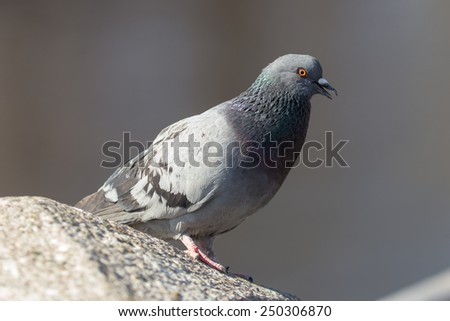 gray pigeon sitting on a stone closeup - stock photo