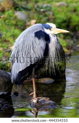Gray profile, in typical head posture Ardea cinerea, gray heron - stock photo