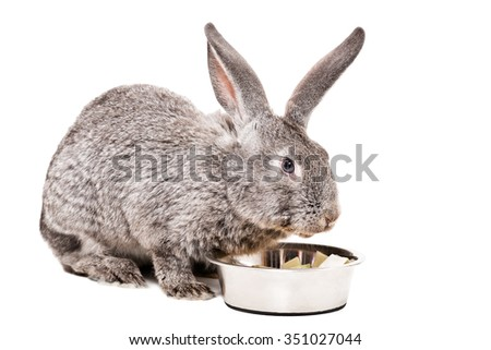 Gray rabbit eating from a bowl cabbage isolated on a white background - stock photo
