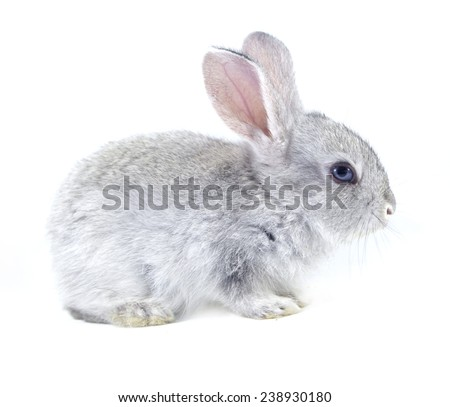 Gray rabbit isolated on white background - stock photo