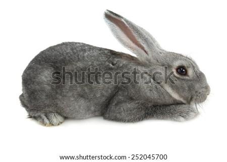 gray  rabbit on a white background - stock photo