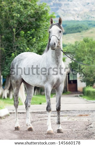 gray  racing arabian  stallion - stock photo