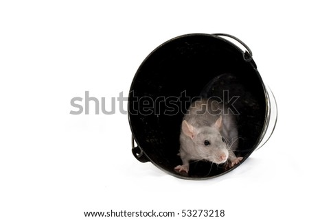 Gray rat in pail