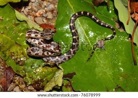 Gray Rat Snake (Elaphe obsoleta) at Monte Sano State Park in northern Alabama - stock photo