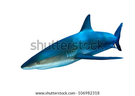 Gray Reef shark isolated on white background - stock photo