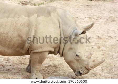 Gray rhino standing in outdoor zoo habitat - stock photo