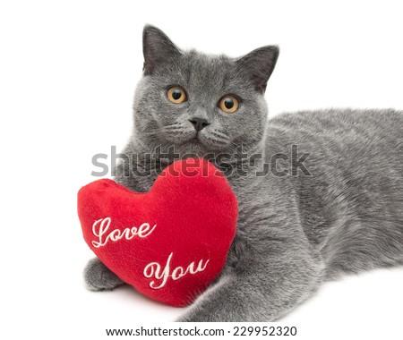 gray scottish cat with a red cushion closeup. white background - horizontal photo. - stock photo