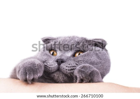 gray scottish cat with surprised view - stock photo