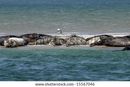 Gray Seals Hauled out on Cape Cod Outer Beach