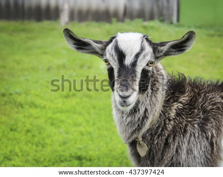 gray shaggy goat with black spots is on the green grass