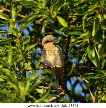 Gray shrike perched on almond tree - stock photo