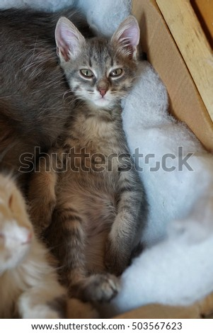 gray siberian cat lying in basket as a person