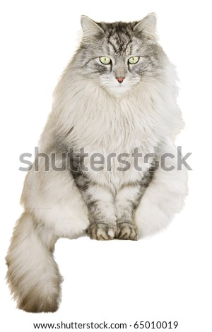gray siberian cat on white background - stock photo