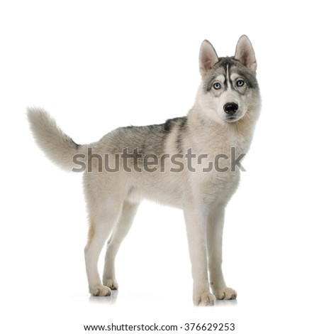 gray siberian husky in front of white background