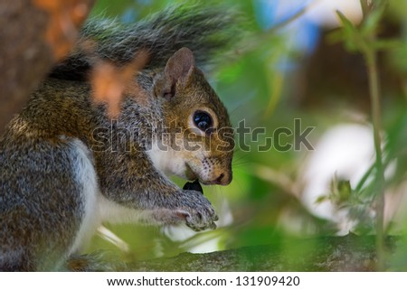 Gray Squirrel eating a acorn in a tree, Fort Myers, Florida. - stock photo