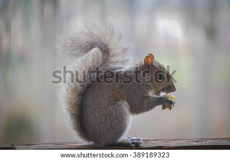 Gray squirrel eating a snack on a deck rail.
