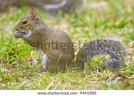 Gray Squirrel eating or playing with a man-made object