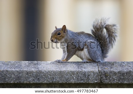 Gray squirrel in the city