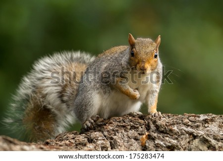 Gray squirrel on the log - stock photo