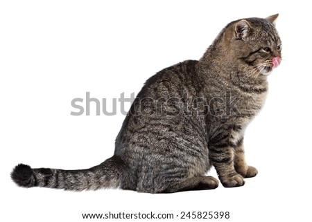 Gray striped cat on a white background licks his nose. Isolated. - stock photo