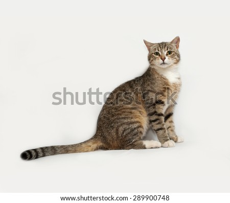 Gray striped cat sitting on gray background