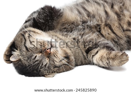 Gray striped cat sleeping on a white background. Isolated.