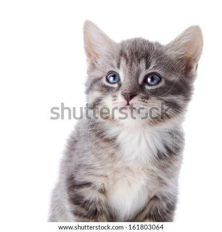 Gray striped kitten. Striped kitten with blue eyes. Kitten on a white background. Small predator.