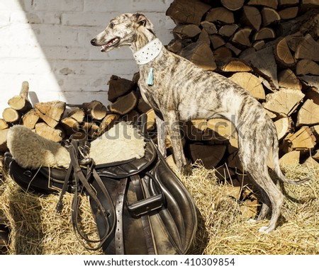 gray stripped dog is on the dry grass next to the chopped logs next to the black leather bag