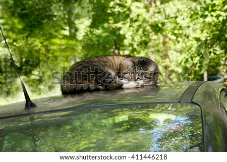 Gray tabby adult cat lying on the roof of the car - stock photo