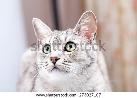 gray tabby cat close-up portrait