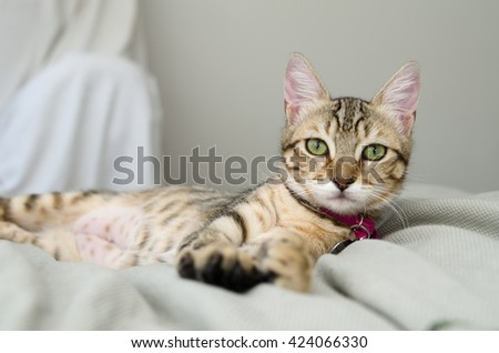 Gray Tabby Cat Laying on Bed - stock photo