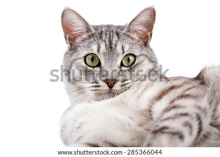 gray tabby cat lying Isolated on white background - stock photo