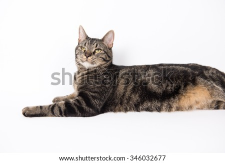 Gray Tabby Cat Relaxing on White Background