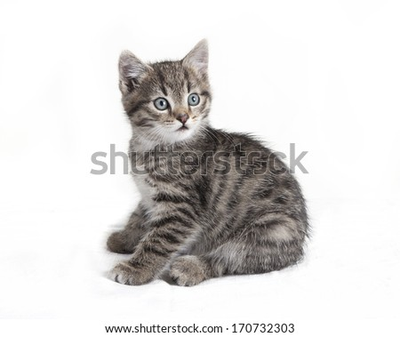 gray tabby cat sitting and looking at camera, white background, isolated