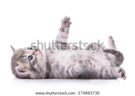 gray tabby Scottish kitten lies on his back and played. animal isolated on white background - stock photo