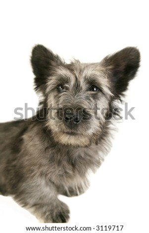 Gray Terrier puppy with big ears
