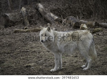 Gray Timber Wolf