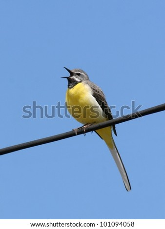 Gray wagtail perched on a wire, singing - stock photo