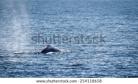 Gray whale swimming in the ocean near Ventura California. - stock photo