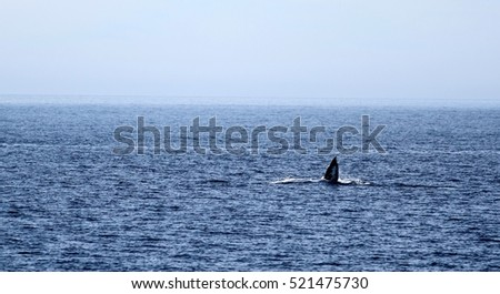 Gray whale swimming in the ocean near Ventura California with its fin up.