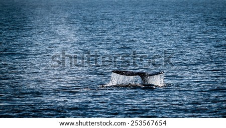 Gray whale watching in the Channel Islands near Ventura. - stock photo